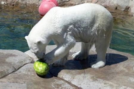 كيف يأكل الدب البطيخ !!! صور صعبه جدا 7_5
