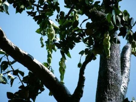 غريب جدًا:شجرة ثمارها على هيئة 'بنات بجسم كامل'  S%20%282%29