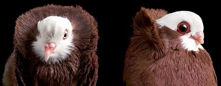 أجمل طيور الحمام في العالم  10_13