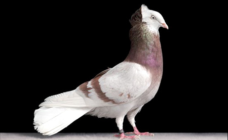 أجمل طيور الحمام في العالم  11_11