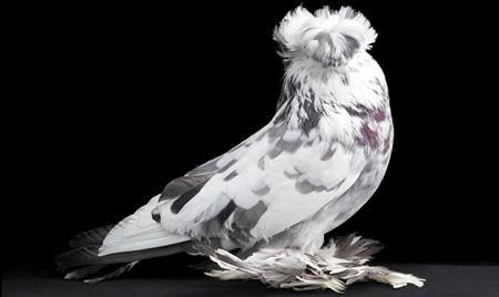 أجمل طيور الحمام في العالم  1_33