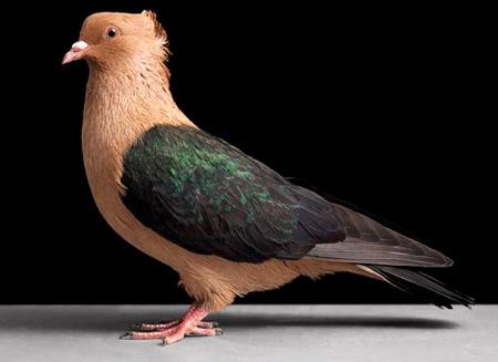 أجمل طيور الحمام في العالم  2_22