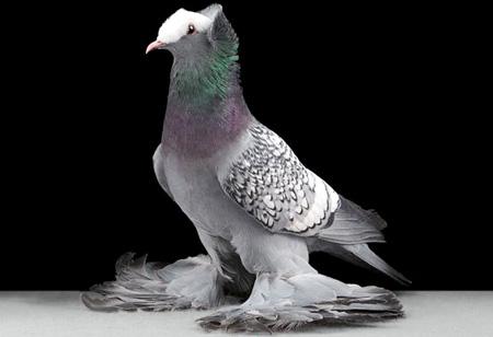 أجمل طيور الحمام في العالم  3_20