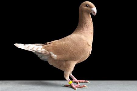 أجمل طيور الحمام في العالم  5_17