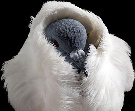 أجمل طيور الحمام في العالم  6_15