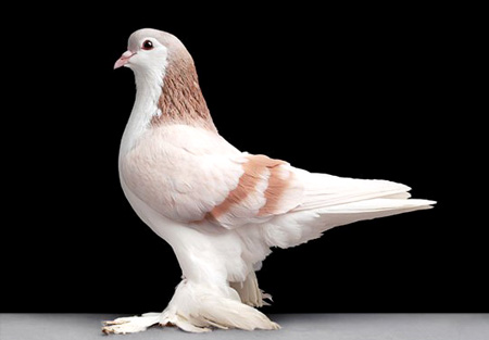 أجمل طيور الحمام في العالم  7_15