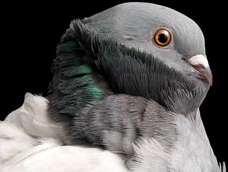 أجمل طيور الحمام في العالم  8_14