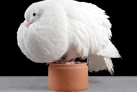 أجمل طيور الحمام في العالم  9_13