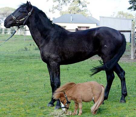 اصغر حصان في العالم L_13