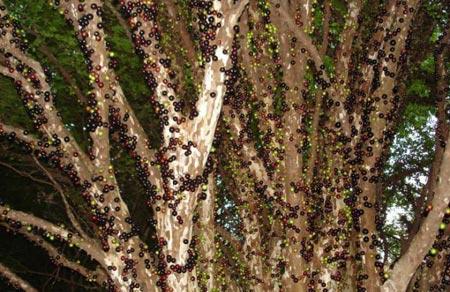 شجرة العنب البرازيلي الغريبة P-%281%29