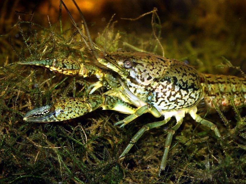 Новый вид раков состоит из самок-клонов Ps_Marmorkrebs_Procambarus_fallax_forma_virginalis_1440661845.JPG.814x610_q85
