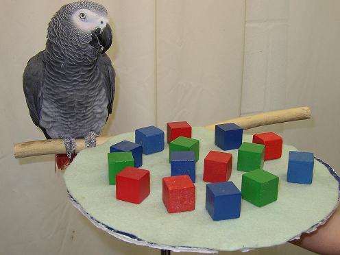 Papiga- papagaji Alex_the_parrot