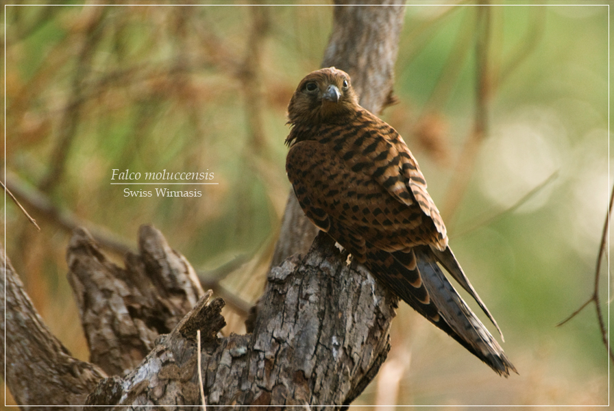Falconiformes. sub Falconidae - sub fam Falconinae - gênero Falco - Página 2 Alap-alap-sapi4