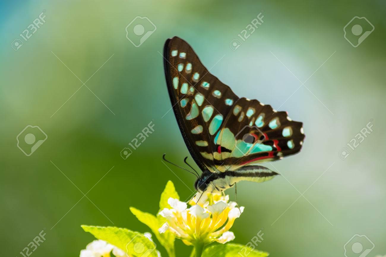 Tìm hiểu Bướm - Page 7 40816230-Common-Jay-butterfly-Graphium-arycles-on-Lantana-flower--Stock-Photo