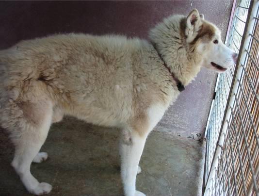 JESSY male husky Refuge de la Picoterie (02) 13 ANS ! DECEDE Jessy_fot