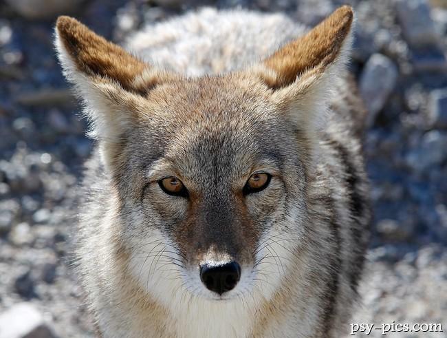 Indijanci - Page 5 1359790148_psowate-kojot-canis-latras