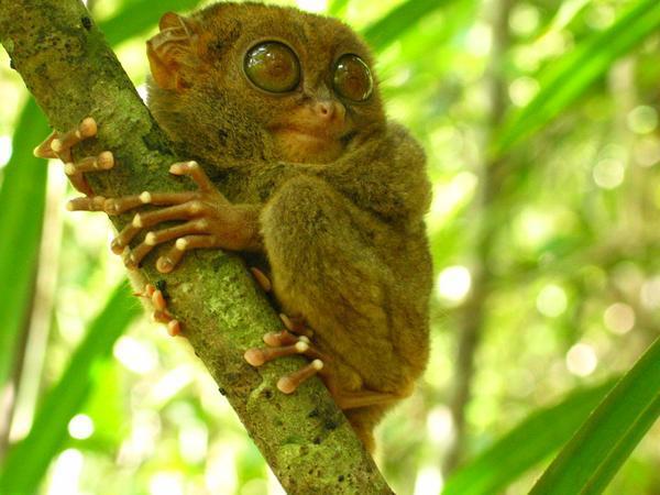 Zèbre, une appellation horrible - Page 2 Pygmy-tarsier