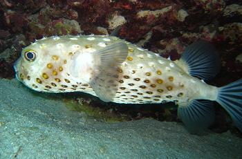 un animal - ptit loulou - le 2 novembre trouvé par Martine - Page 2 Cyclichthys_spilostylus