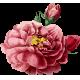 [Jeu de dés] Cueillons des pâquerettes Fleur-2