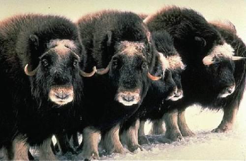 الاتحاد قوة ... حتى عند الحيوانات  Ovibos_moschatus