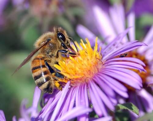 ثم كلى من كل الثمرات 759px-European_honey_bee_extracts_nectar