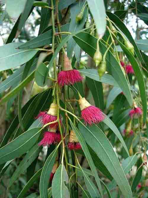 المعجزات الحيوية فى الأوراق النباتية  449px-Eucalyptus_leucoxylon1