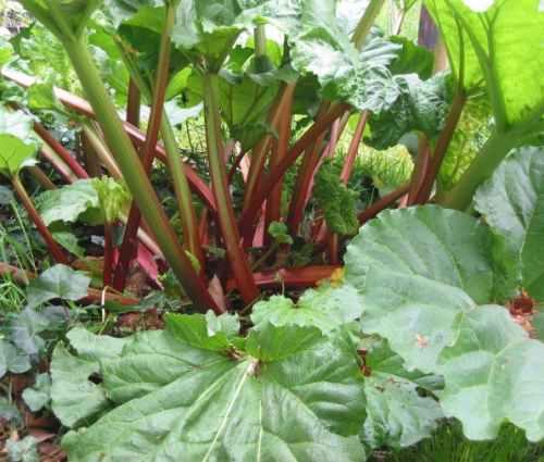 المعجزات الحيوية فى الأوراق النباتية  Rabarber_stelen