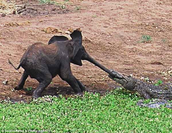 ماذا حدث عندما أمسك التمساح بخرطوم الفيل؟؟ Article-1324525-0BCE25DE000005DC-510_634x490
