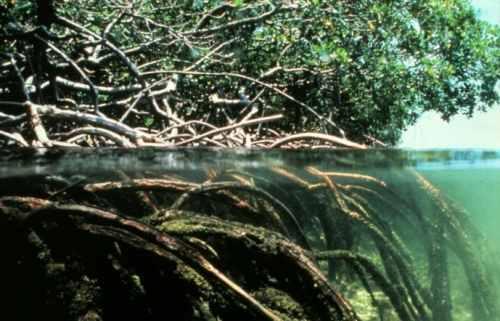الجذور النباتية والآيات الربانية فيها Mangroves