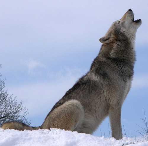 الكلاب والذئاب سبحان الله 607px-Howlsnow