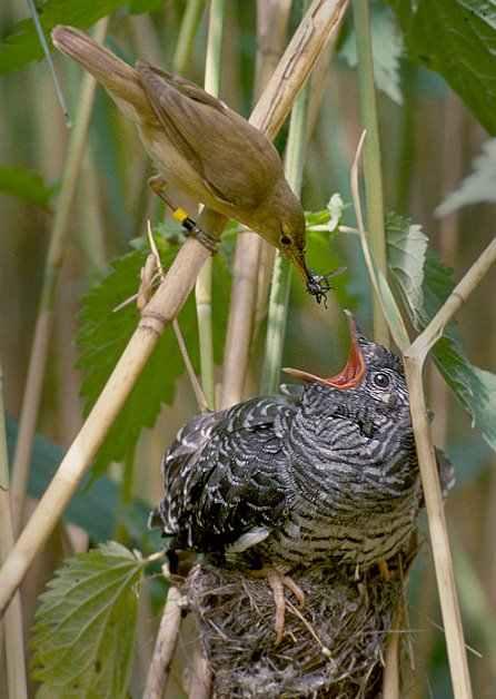 وما من دابة في الأرض ولا طائر يطير بجناحيه إلا أمم أمثالكم Reed_warbler_cuckoo