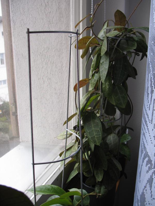 raisumi Hoyas - Seite 3 V2013032418413623917813