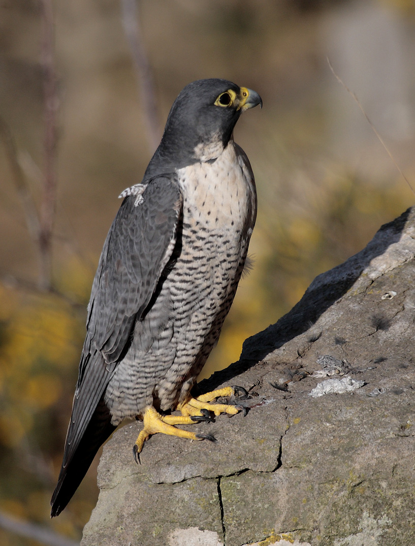 Falconiformes. sub Falconidae - sub fam Falconinae - gênero Falco - Página 2 Peregrine-falcon
