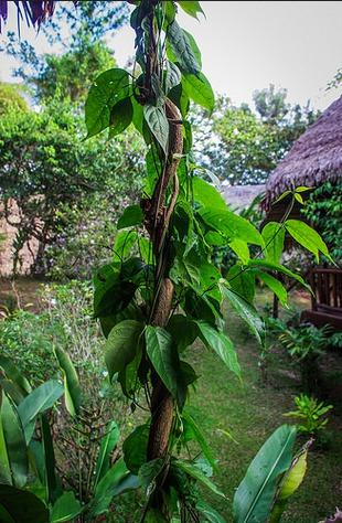 NDE  une aventure extraordinaire ou pas...  Banisteriopsis-caapi-ayahuasca-EMI-NDE-mort-immente-drogue-hallucinogene-DMT