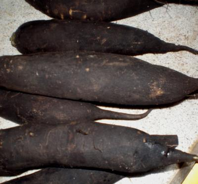 Radis noir, Raphanus niger Radis-noir