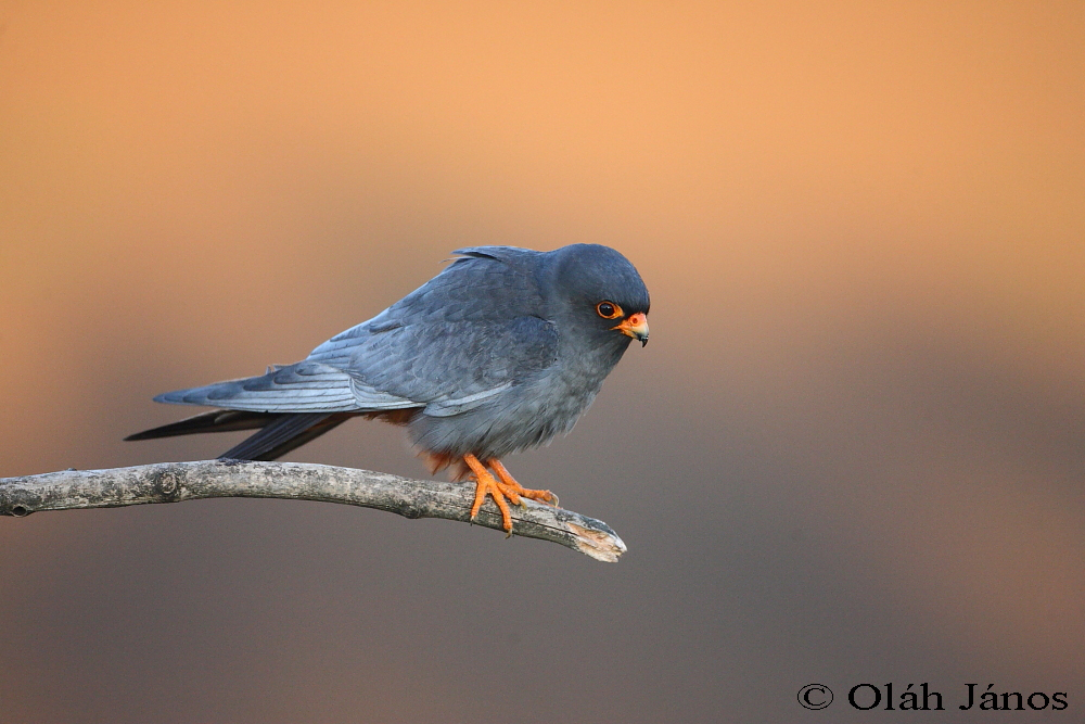 Falconiformes. sub Falconidae - sub fam Falconinae - gênero Falco - Página 3 Red-footed_falcon_1