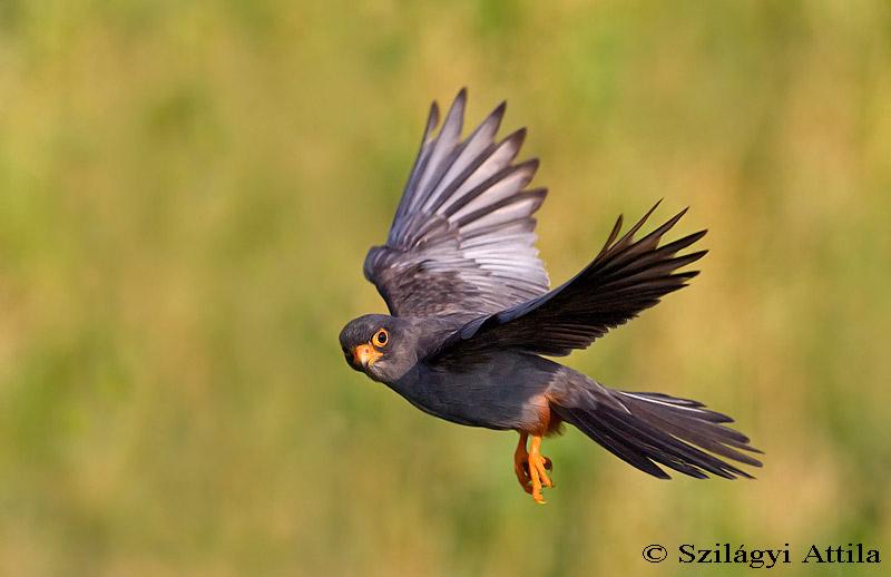 Falconiformes. sub Falconidae - sub fam Falconinae - gênero Falco - Página 3 Red-footed_falcon_2