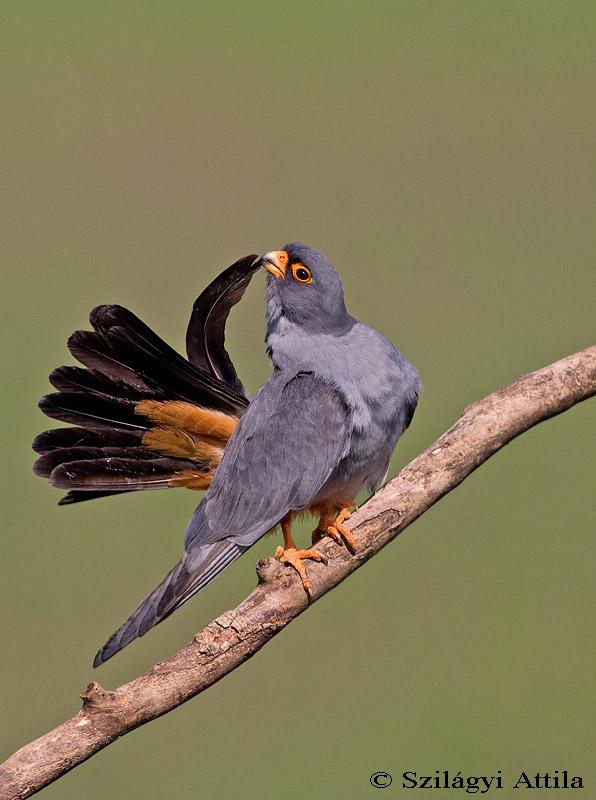 Falconiformes. sub Falconidae - sub fam Falconinae - gênero Falco - Página 3 Red-footed_falcon_5