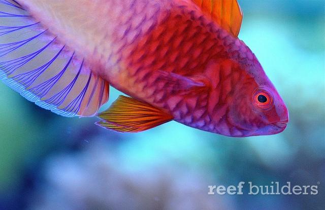 identification poisson Rubri