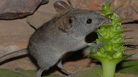 un animal par blucat (11 juillet) trouvé par ajonc 1166135-un-rat-a-trompe-qui-fait-l-abeille