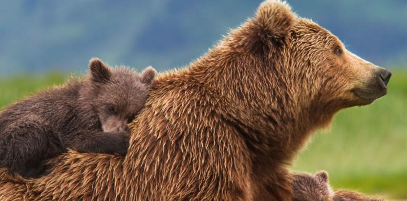 """Le """"Grizzly"""" de Disney : du grand spectacle (réussi) ! Par Carole Chatelain 12355799-le-grizzly-de-disney-du-grand-spectacle-reussi"""