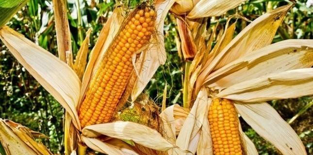 """""""Un poison"""" : l'enquête secrète qui accuse les OGM et Monsanto 4475134"""