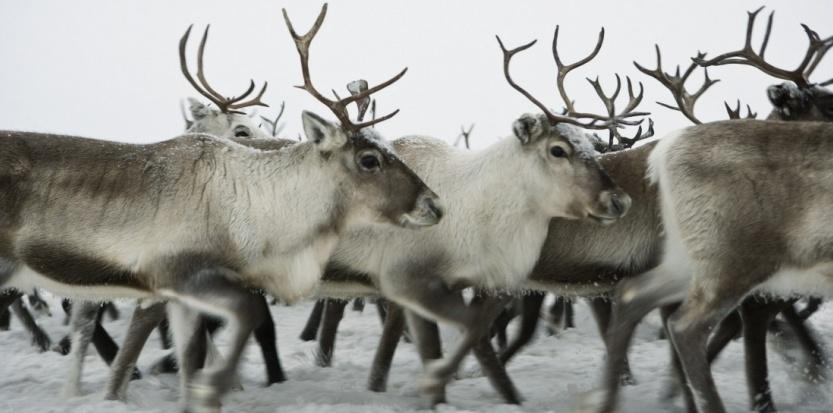 Fil grabataire - [RENNES] Café zébré 6796642-pourquoi-les-yeux-des-rennes-changent-ils-de-couleur-en-hiver