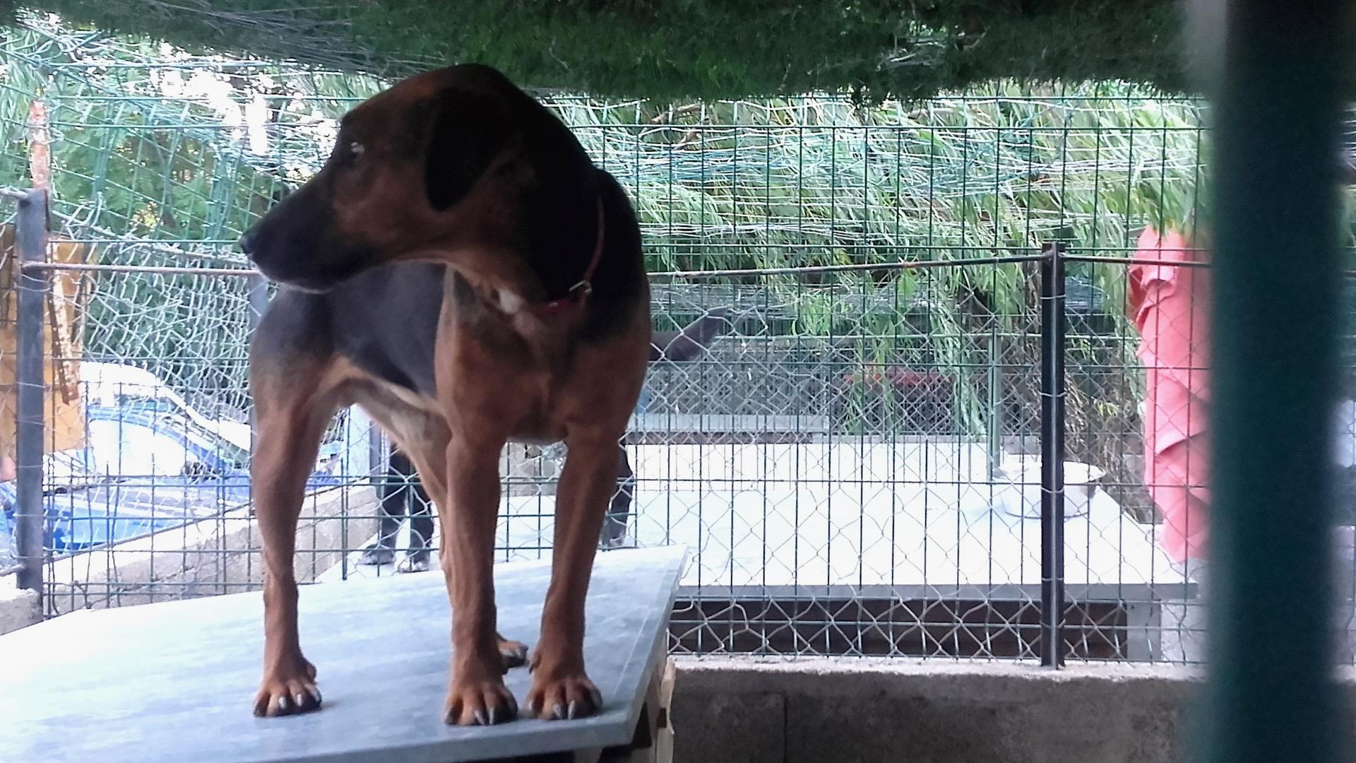LOUSTIC - jagd terrier 8 ans (3 ans de refuge) - Refuge de Digne (04) 20160908-172405