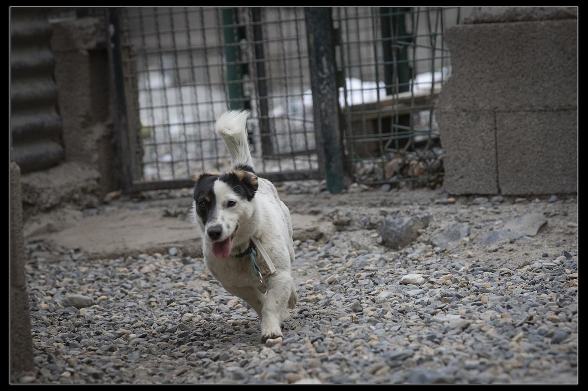 ARLEQUIN - x jack russel 2 ans - Refuge de Digne les Bains (04) Refuge-chiens-arlequin-0869