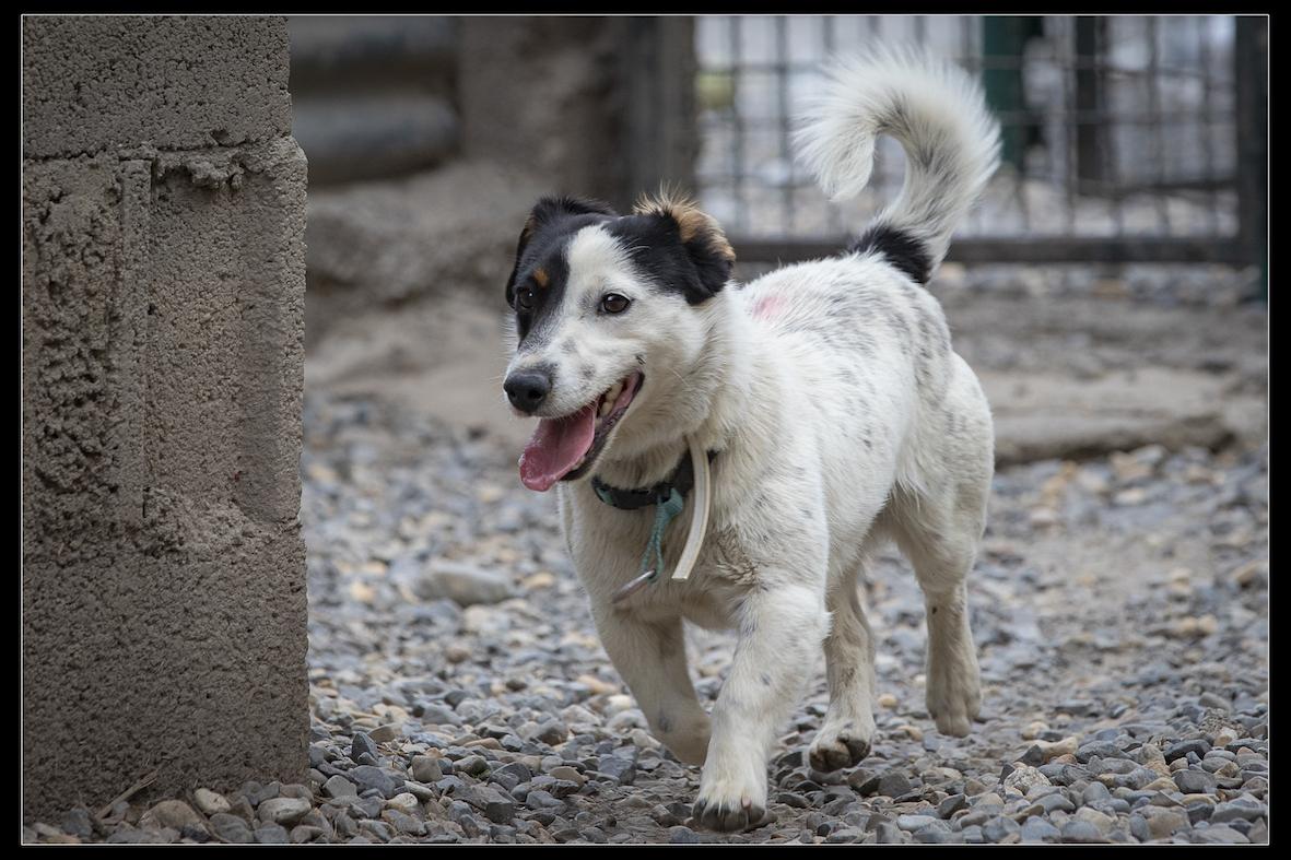 ARLEQUIN - x jack russel 2 ans - Refuge de Digne les Bains (04) Refuge-chiens-arlequin-0876