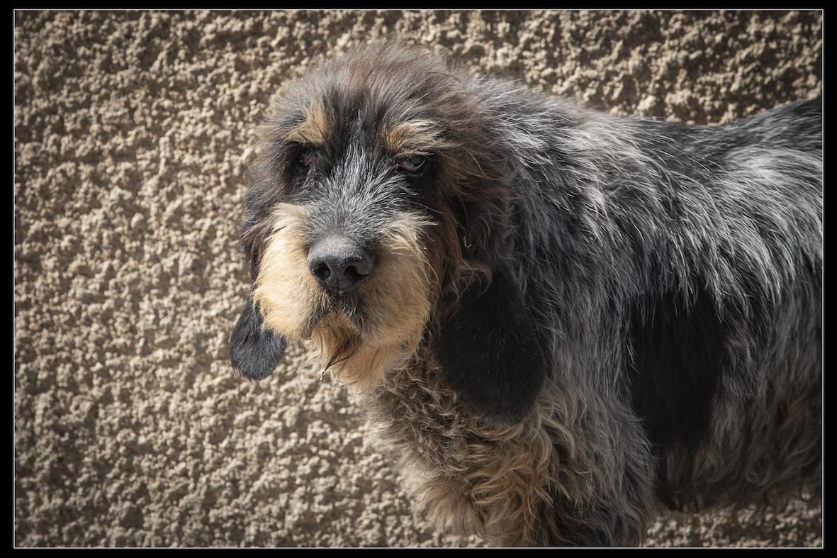 CADOR - griffon bleu de Gascogne 12 ans  (4 ans de refuge)  - Refuge de Digne (04) Refuge-chiens-cador-0144