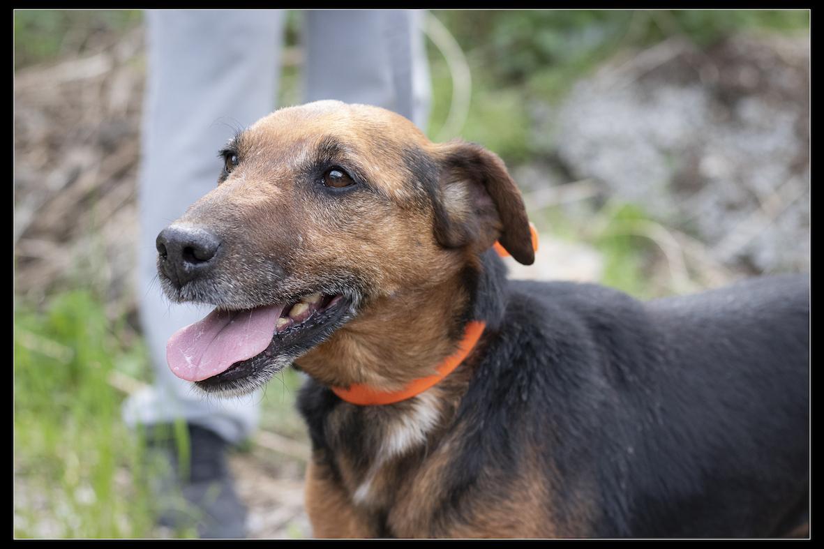 LOUSTIC - jagd terrier 8 ans (3 ans de refuge) - Refuge de Digne (04) Refuge-chiens-loustic-357