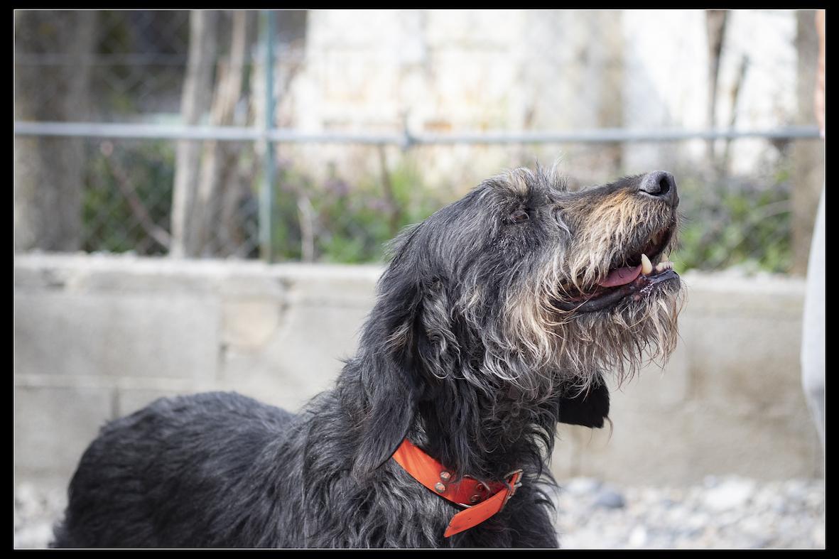 PISTACHE - x griffon nivernais 11  ans  (6 ans de refuge) - Refuge de Digne (04) Refuge-chiens-pistache-337