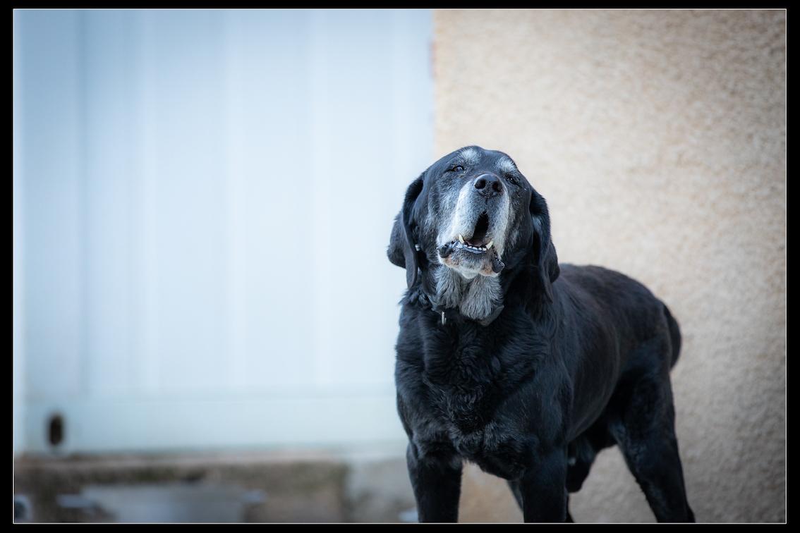 SCOUBIDOU - x labrador 10 ans - Refuge de Digne (04) Refuge-chiens-scoubidou-3